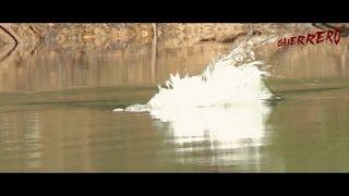 Download Lagu DRAVE Guerrero Royal Belum Topwater Action Part 1 mp3