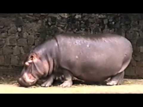 Hippopotamus amphibius, Fauna Zoo São Paulo,