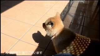 北海道犬・旭(あさひ)です。 ベランダで水遊びのあと、一人運動会して...