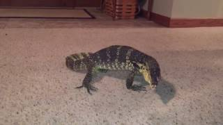 Water monitor doesn't like our cat!!!