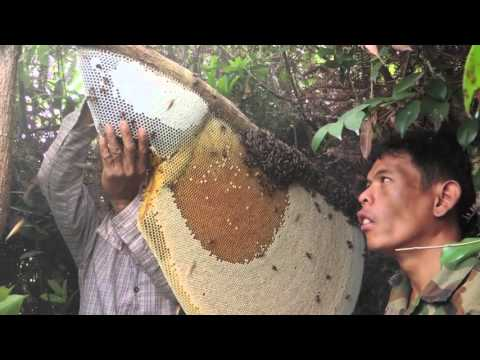 Harvesting Honey from Giant Honeybees in Cambodia