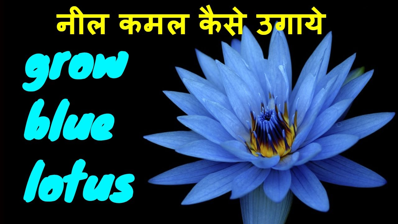 How To Grow Blue Lotus At Home In