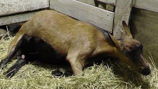 Окоты коз / как появляются козлята(Окоты коз в этом году пришлись на ноябрь. В этом видео козлята выходят в позе ныряльщика (это правильное..., 2014-12-01T15:48:05.000Z)