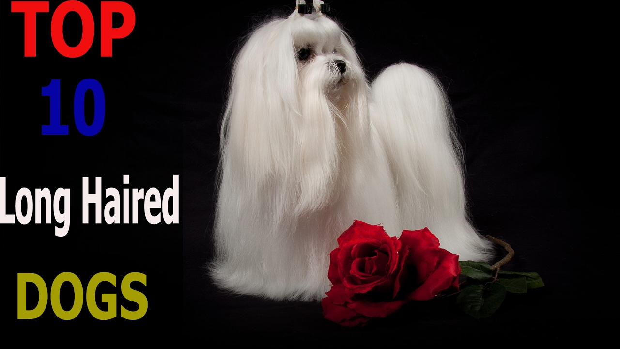 Top 10 Long Haired Dog Breeds Top 10 Animals