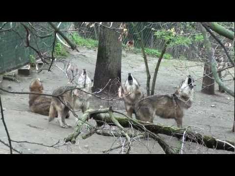 Vytí vlků v ZOO Praha