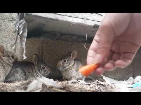 The Day I Saved Three Wild Baby Rabbits