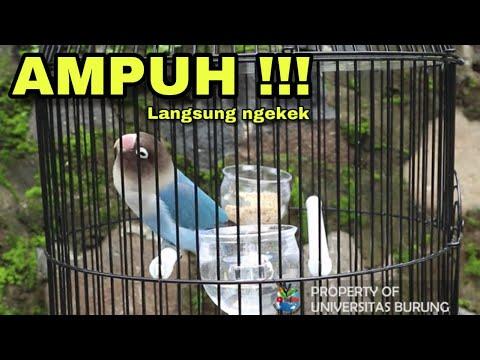 Pancingan Suara Lovebird Ngekek Panjang ASLI !!! 100 % Langsung Nyaut