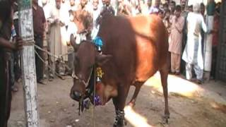 shamraiz cow 2009