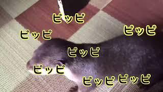 カワウソさくら 夏祭り!お神輿が通った結果!  The sound of Japanese mikoshi and otter thumbnail