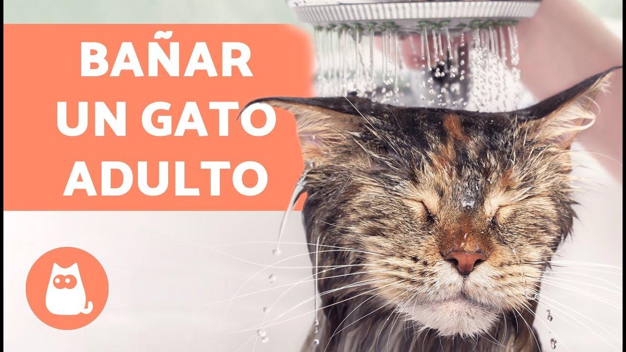 Bañar Gatos | Como Banar Un Gato Adulto Por Primera Vez Youtube