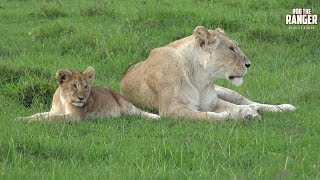 Enkoyonai Lion Pride In The Afternoon   Lions Of The Mara thumbnail