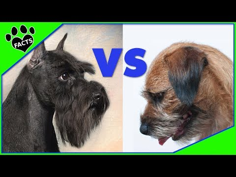Miniature Schnauzer vs Border Terrier Which is Better? Dog vs Dog