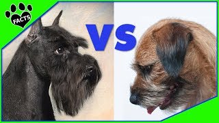 Miniature Schnauzer vs Border Terrier Which is Better? Dog vs Dog