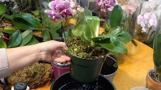 Удобрение, полив и освещение орхидей(Рекомендации по уходу за орхидеями фаленопсис. Полив, освещение, удобрение и выбор горшка. Смотрите также:..., 2015-12-17T11:18:39.000Z)