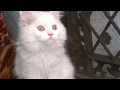 Cute white persian cat jumping funny video
