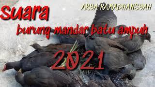 Download Suara burung mandar batu sangat ampuh 2021 pikat