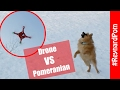 Pomeranian Puppy Reacts to Drone