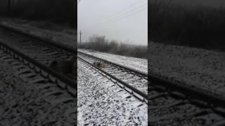 Собака под поездом1