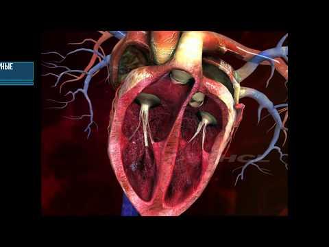 Строение человеческого сердца 1
