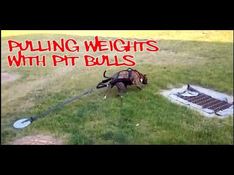 Pulling Weights With Pit Bulls - Nymeria's First Time Pulling!! - NyiDro Bloodlines