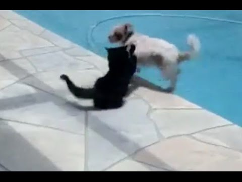 Funny Cat Videos - Annoyed Cat Pushes Dog Into Swimming Pool