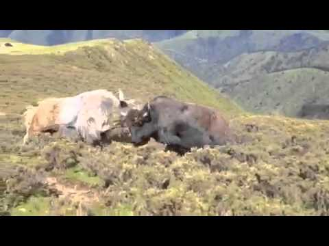 Lithang County of eastern Tibet: Biggest Yak fights!