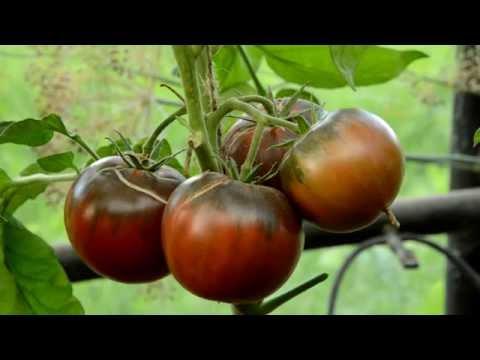 Лучшие сорта томатов сезона 2016 года. Критерий оценки - вкус.