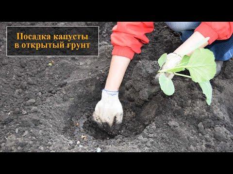 Посадка капусты в открытый грунт | рассадой | открытый | открытом | посадка | капусты | капусту | капуста | сажать | грунте | грунт