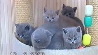 Британские котята из питомника Silvery Snow г.Москва. съемки 2003 г.