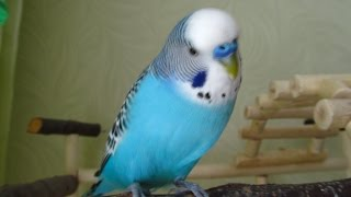видео Як навчити папугу розмовляти