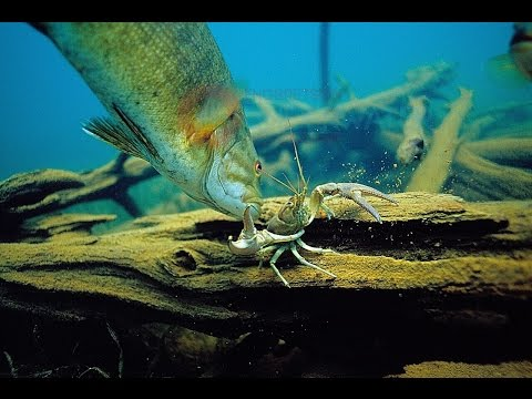 Crayfish That Evade Big Bass-Amazing Underwater Escapes-Engbretson Underwater Photography