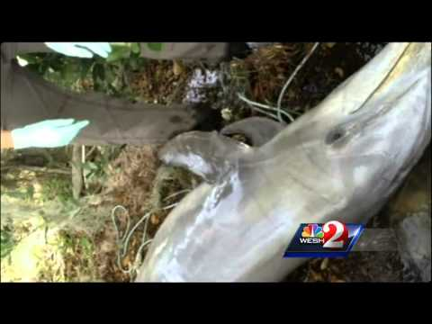 Dying dolphins raise concerns at Indian River Lagoon