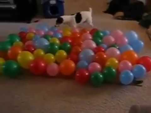 Dog Popping balloons