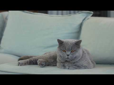 The British Shorthair | Royal Canin Feline Breed Nutrition