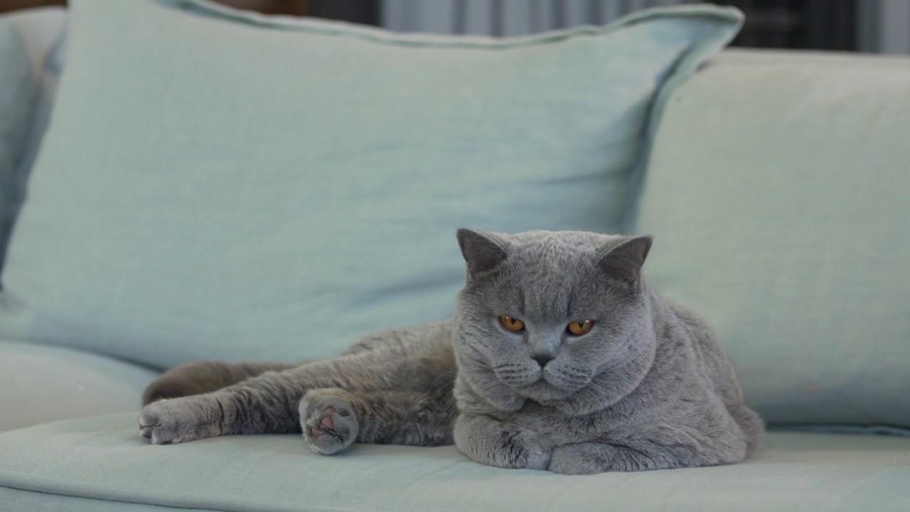 the british shorthair royal canin feline breed nutrition. Black Bedroom Furniture Sets. Home Design Ideas