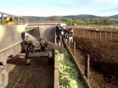Feeding cactus to cows in large farming operations
