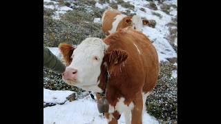 Krowy alpejskie
