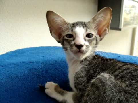 oriental shorthair kittens 9 weeks old - YouTube