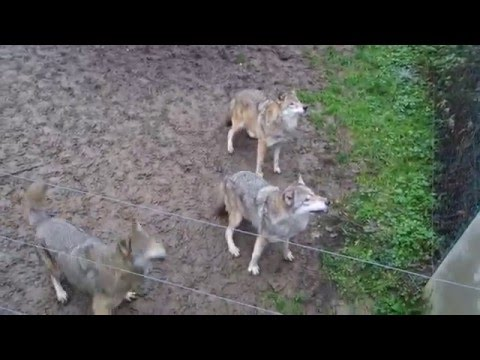 Feeding the wolves, Zoo/Tiergarten Worms, Germany / Wolfsfütterung