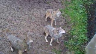 Feeding the wolves, Zoo/Tiergarten Worms, Germany / Wolfsfütterung