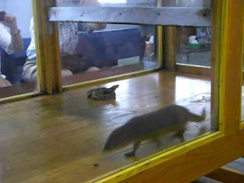 ハブ対マングース