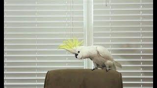葵花鳳頭鸚鵡「雪球」的舞技可能比你強!《國家地理》雜誌