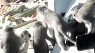 смешные обезьяны - 2