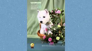 "Календарь 2014г. Порода Вест Хайленд Уайт терьер. Питомник ""Мечта Натали"""