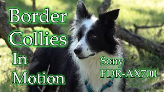 Border Collies In Motion   Sony FDRAX700 4K