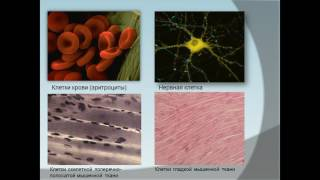Презентация многообразие клеток