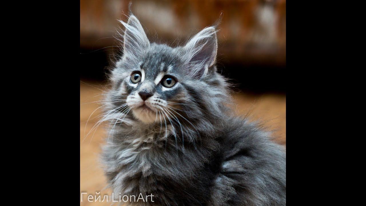Кошки и котята мейн-кун. На доске объявлений olx казахстан легко и быстро можно купить котенка породы мейн-кун. Заведи друга прямо сейчас!