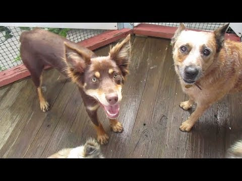 Luna (Border Collie x Kelpie) and Topaz (Cattle Dog)