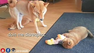 shiba inu dad do ANGERY - Part 9