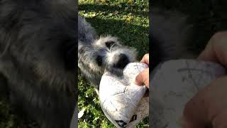 Rosemary The Irish WolfHound 'Fetch'  Who says Wolfhounds don't play Fetch? Rosemary's Rescue